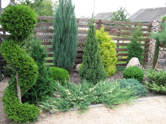 Хвойные деревья для сада на даче